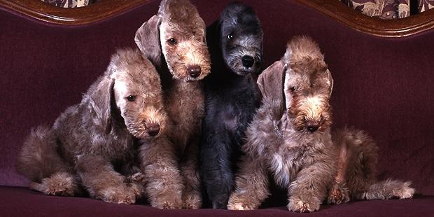 chien-bedlington-terrier-canape