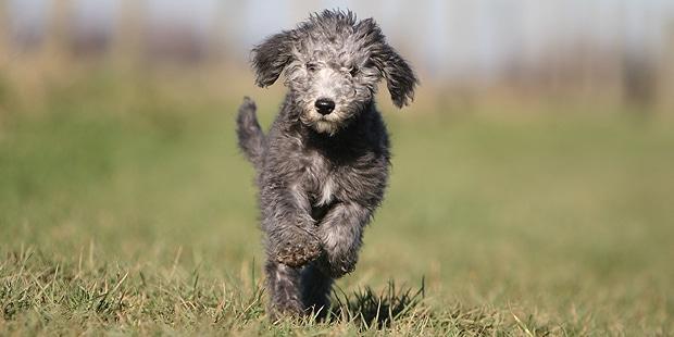 chien-bedlington-terrier-chiot-courir