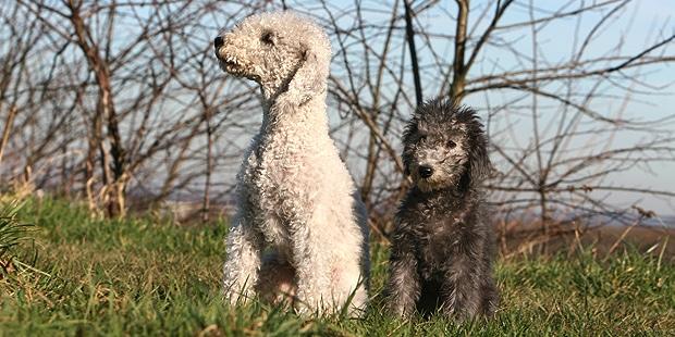 chien-bedlington-terrier-chienne-chiot