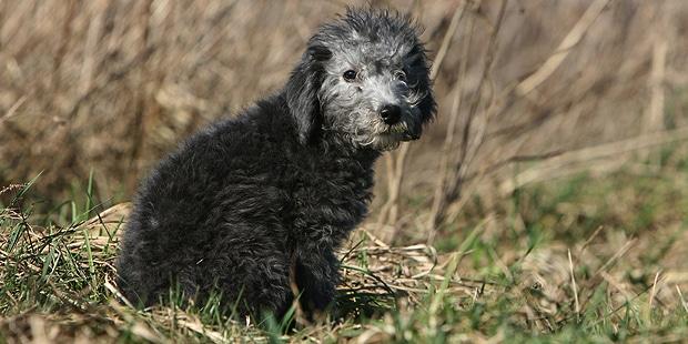 chien-bedlington-terrier-chiot-noir