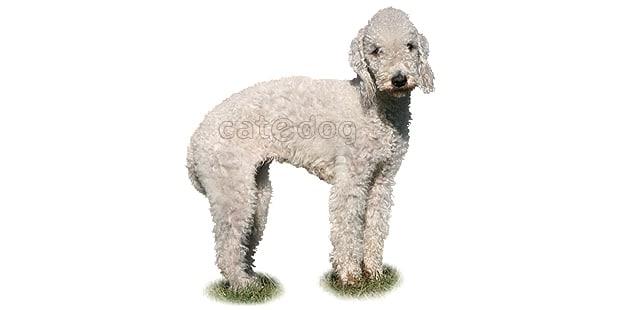 chien-bedlington-terrier