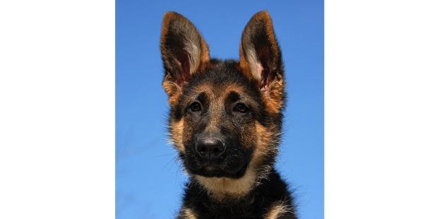 chien-berger-allemand-portrait-chiot