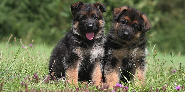 chien-berger-allemand-couple-chiots