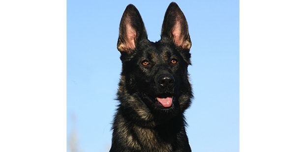 chien-berger-allemand-noir