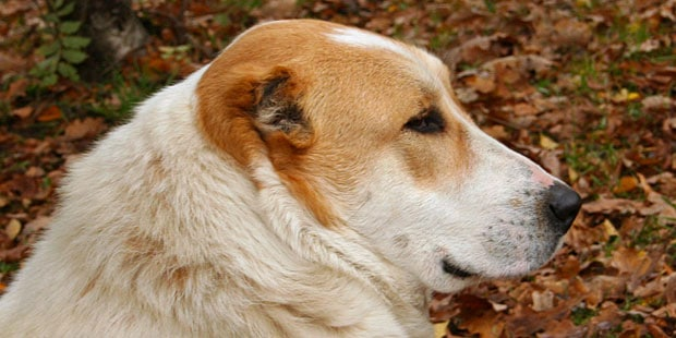 chien_berger-asie-centrale-Ovtcharka-portrait