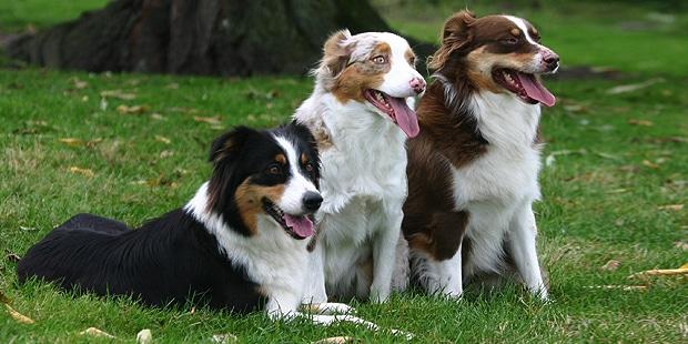 berger-australien-Aussie-Australian-Sherpherd-trio