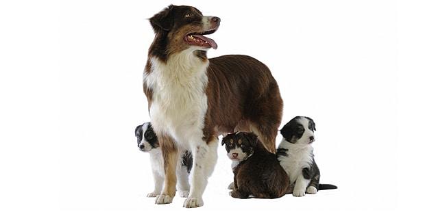 berger-australien-Aussie-Australian-Sherpherd-chienne