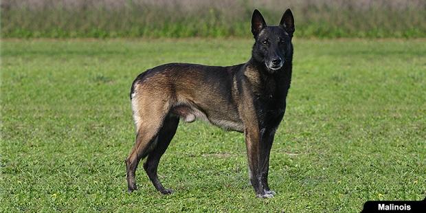 chien-berger-belge-malinois