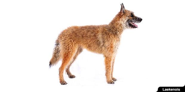 chien-berger-belge-laekenois