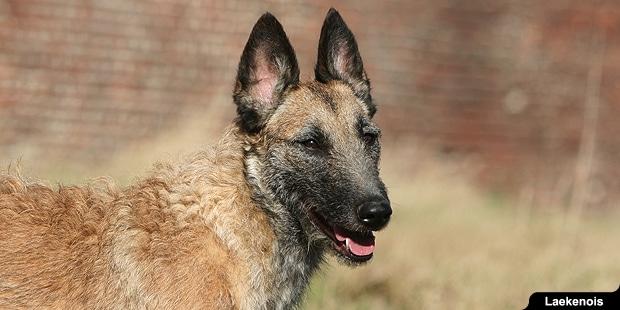 chien-berger-belge-laekenois-portrait