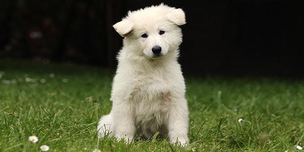 chien-berger-blanc-suisse-chiot