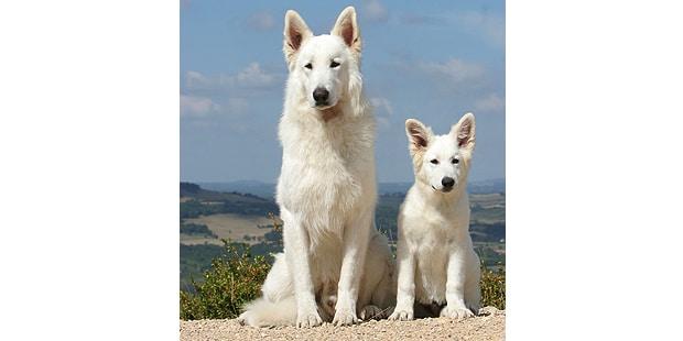 chien-berger-blanc-suisse-chienne-chiot