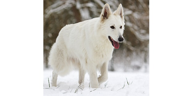 chien-berger-blanc-suisse-neige