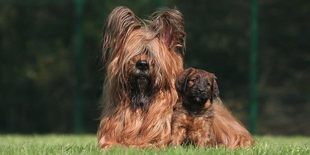 chien-berger-de-brie-Briard-chienne