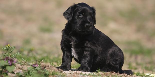 chien-berger-de-brie-Briard-chiot