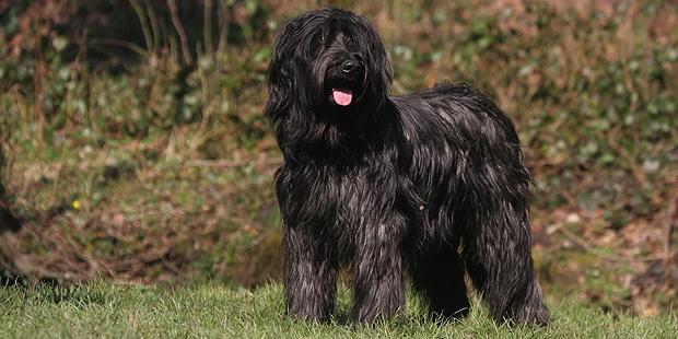 chien-berger-de-brie-Briard-noir