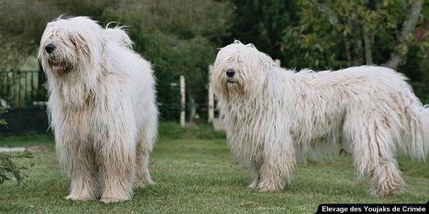chien_Youjak_berger-de-russie-meridionale_couple