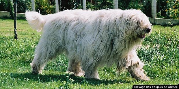 chien_Youjak_berger-de-russie-meridionale_jardin