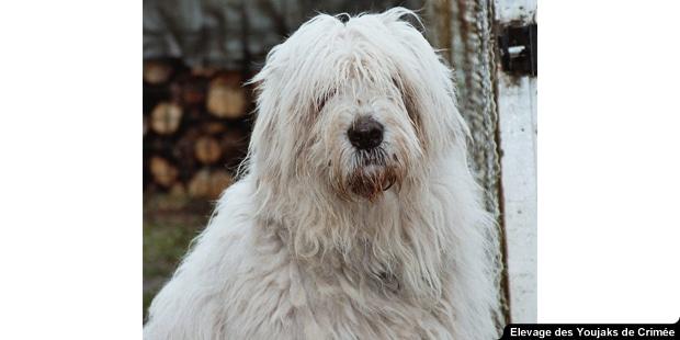 chien_Youjak_berger-de-russie-meridionale_portrait