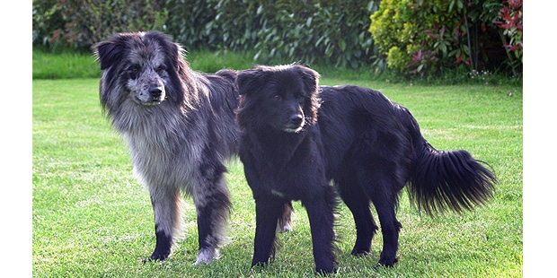 chien_labrit_berger-des-pyrenees-a-face-rase_couple