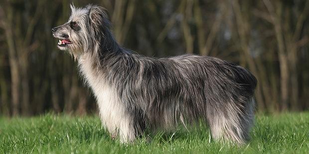 chien_labrit_berger-des-pyrenees-a-face-rase_profil