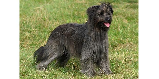 chien_labrit_berger-des-pyrenees-a-poil-long_nature