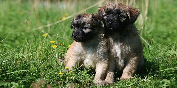 chien_labrit_berger-des-pyrenees-a-poil-long_chiots_nature