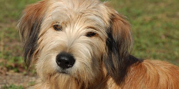 chien_labrit_berger-des-pyrenees-a-poil-long_portrait