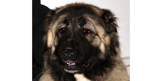 chien-berger-du-caucase-Ovtcharka-portrait