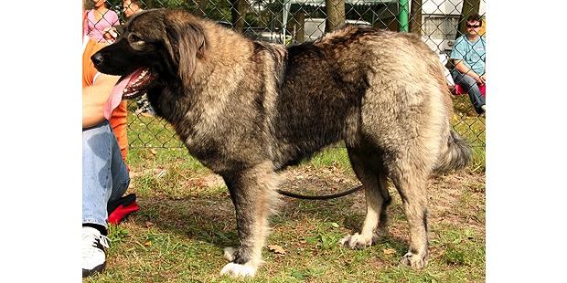 chien-berger-du-caucase-Ovtcharka-profil