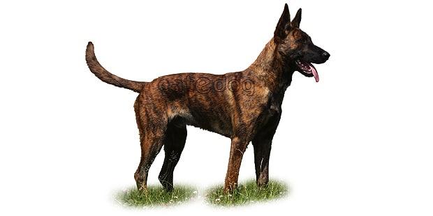 chien-berger-hollandais-hollandse-herdershond