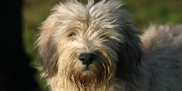 berger-polonais-de-plaine-Nizinny-portrait