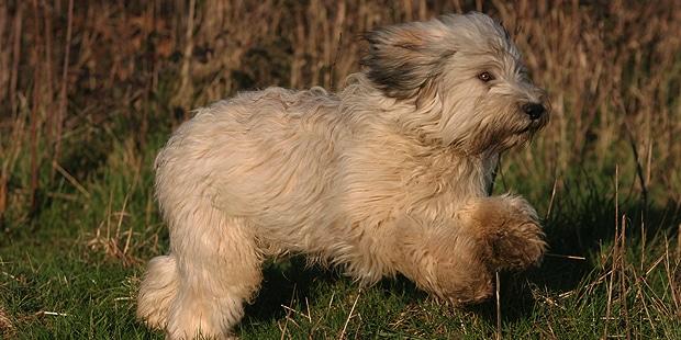 berger-polonais-de-plaine-Nizinny-courir