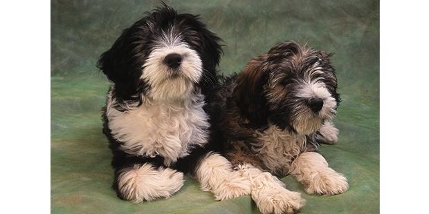 berger-polonais-de-plaine-Nizinny-couple