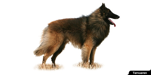 chien-berger-belge-tervueren