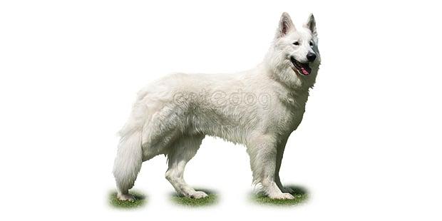 chien-berger-blanc-suisse