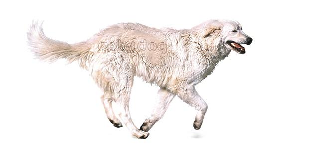 chien-berger-de-maremme-abruzzes