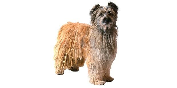 chien_labrit_berger-des-pyrenees-a-poil-long