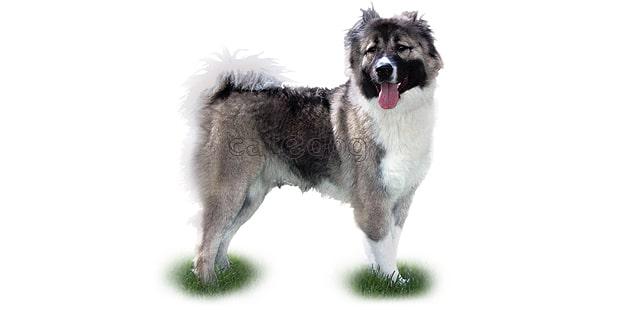 chien-berger-du-caucase-Ovtcharka