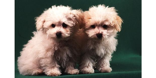 chien-bichon-bolonais-duo-chiots
