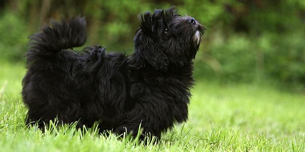chien-bichon-havanais-noir