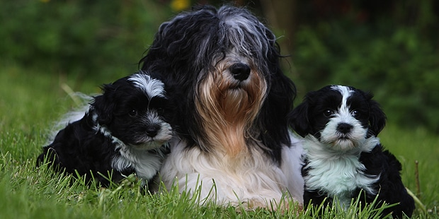 chien-bichon-havanais-chienne-chiots