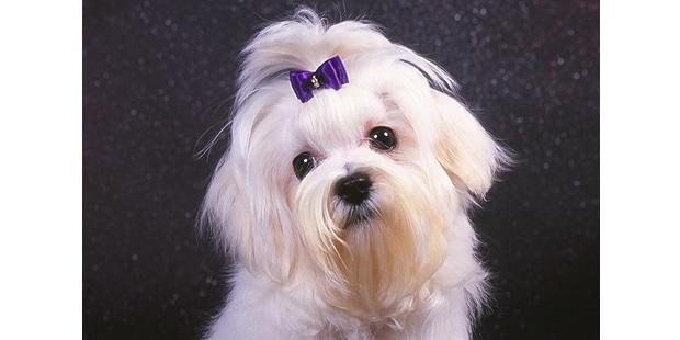 chien-bichon-maltais-portrait