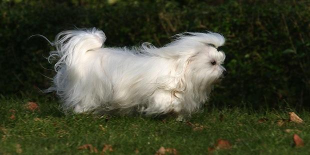 chien-bichon-maltais-courir