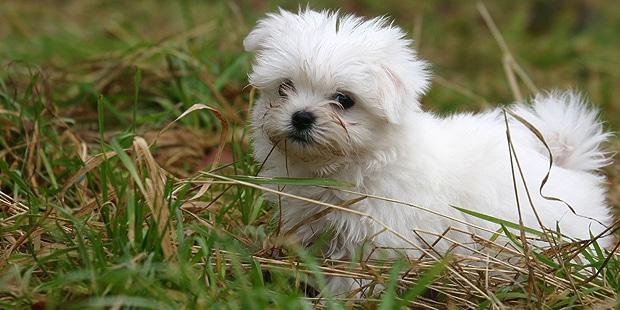 chien-bichon-maltais-chiot-herbes