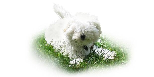 chien-bichon-bolonais