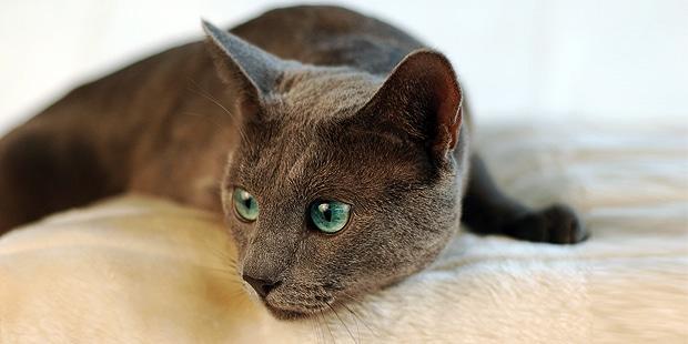 bleu-russe-chat-archangel-russian-blue-couche