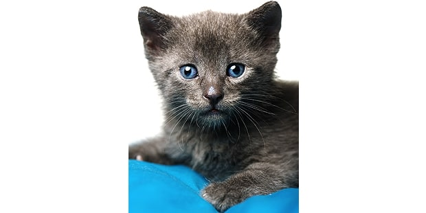 bleu-russe-chat-archangel-russian-blue-chaton