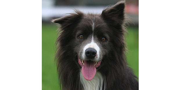 chien-border-collie-portrait