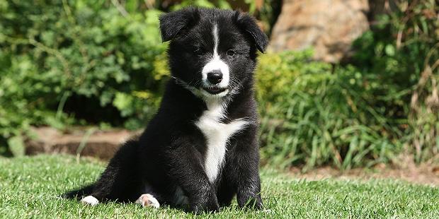 chien-border-collie-chiot